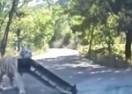 Vozio se kroz šumu, a onda ga napao Sibirski tigar i odvalio mu branik sa VW Jetta-e (VIDEO)