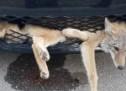 SREĆA U NESREĆI: Kojot preživio sudar s Toyotom i pola sata vožnje u rešetci hladnjaka (FOTO)